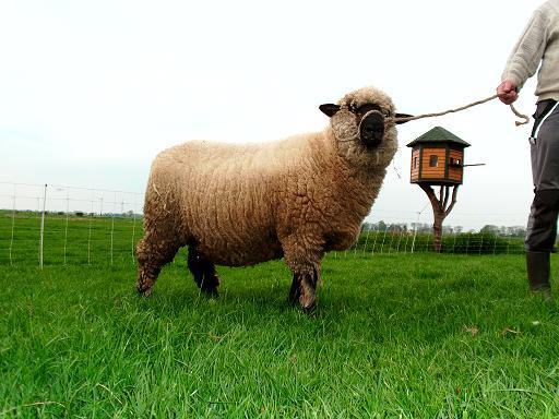 Schwarzkopf Schaf
