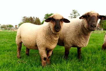 Schwarzkopf Schaf und Lamm